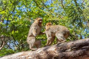 vitatkozó, veszekedő majmok
